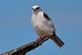 Black-shouldered Kite (23770509416).jpg