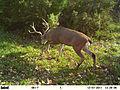 Black-tailed deer (7146688455).jpg