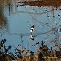Black-winged stilt pond near Burke River Boulia Queensland P1030825.jpg