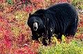 Black Bear -- Lake Louise Upper Gondola Terminal Alberta (CA) September 2019 (50090621138).jpg