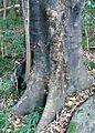 Black Stinkwood tree - 2 old tree trunk.jpg
