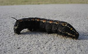 Black caterpillar1.jpg