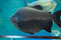 Black pacu (Colossoma macropomum) (15777997361).jpg