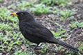 Blackbird in Madrid (Spain) 13.jpg