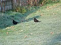 Blackbirds, Bishopstone - geograph.org.uk - 1105561.jpg