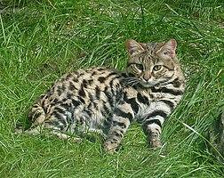 gato bravo de patas negras wiktionary