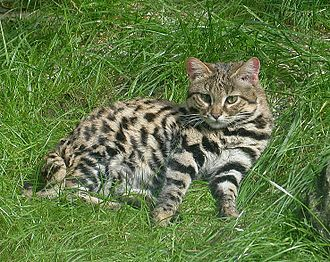 Adult black-footed cat resting Blackfooted2.jpg