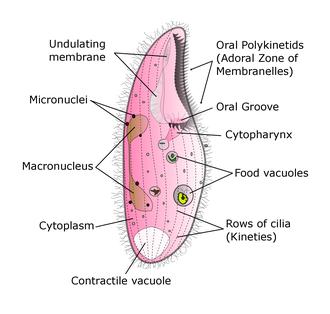 Blepharisma - Diagram of Blepharisma sp.