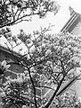 Bloeiende magnolia bij het Stedelijk Museum, Bestanddeelnr 189-1286.jpg