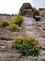 Blommor på Visby ringmur 2.jpg