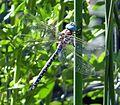 Blue-eyed Darner (Rhionaeshna multicolor) Male - Flickr - gailhampshire.jpg