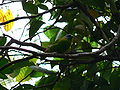 Blue-faced Parrot-finch Pengo.jpg