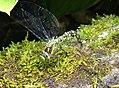 Blue Hawker. Aeshna cyanea (36043938421).jpg