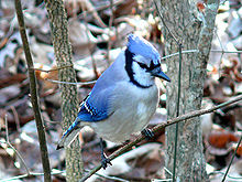 A blue jay, a small bird with blue feathers.