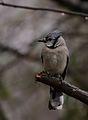 Blue Jay (Cyanocitta cristata) (33734115552).jpg
