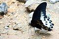 Blue Mormon - Papilio polymnestor.JPG