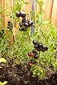 Blue bayou tomato plant.jpg