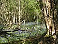 Bluebells at High Wykehurst - geograph.org.uk - 793286.jpg