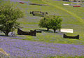 Bluebells on Holwell Lawn 3.jpg