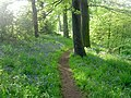 Bluebells on river Dearne bank. - geograph.org.uk - 493058.jpg