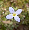 Bluets - Quaker Ladies (Houstonia caerulea) along West Overlook Trail - Flickr - Jay Sturner.jpg