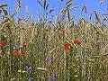 Blumen und Korn am Wegesrand - panoramio.jpg