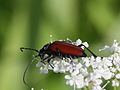Blutroter Halsbock - Anastrangalia sanguinolenta, ♀ (7568113168).jpg