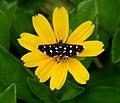 Bocchoris inspersalis (Crambidae, Spilomelinae) (5973260341).jpg