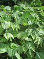 Boehmeria tricuspis - Flickr - peganum.jpg