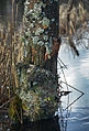 Bois mort lichens fungi 0155.JPG