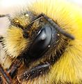 Bombus-lucorum-male-w-Kuzinia-laevis-deutonymph-female-mites.jpg