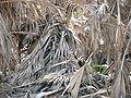 Borassus aethiopum 0054.jpg