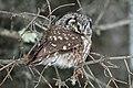 Boreal Owl - Flickr - GregTheBusker (4).jpg