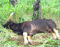 Bos gaurus,thirsty-died(Indian bison) Tamil Nadu80.jpg