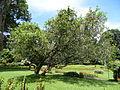 Botanical Garden of Peradeniya 36.JPG