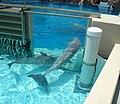 Bottlenose Dolphins (1498997183).jpg