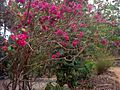 Bougainvillea plant with flowers.JPG