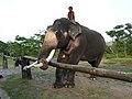 Boy with the bull tusker at Mudumalai TR Elephant camp AJTJ P1020474.jpg