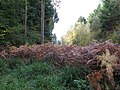 Bracken at the edge of Wephurst Wood - geograph.org.uk - 1568421.jpg