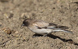 Brandt's Mountain finch or Black-headed Mountain-finch (Leucosticte brandti)-1904.jpg