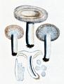 Bresadola - Lactarius torminosus.png
