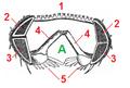 Britannica Echinoderma 16 tagged.png