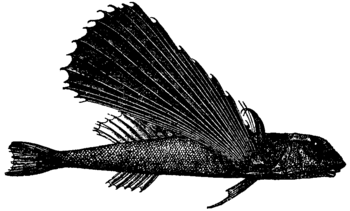 Britannica Flying-fish Dactylopterus volitans.png