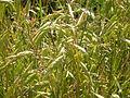 Bromus japonicus (3815222296).jpg