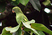 A green parrot with white eye-spots and mark around the beak