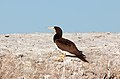 Brown Booby (Sula leucogaster) (11118138893).jpg