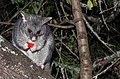 Brushtail Possum,North Donnelly State Forest, Western Australia.jpg