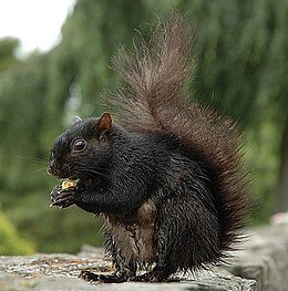 Buberel wet squirrel.jpg