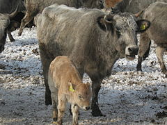 Bulgarian gray cattle.jpg
