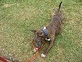 Bull terrier mâle (4).jpg